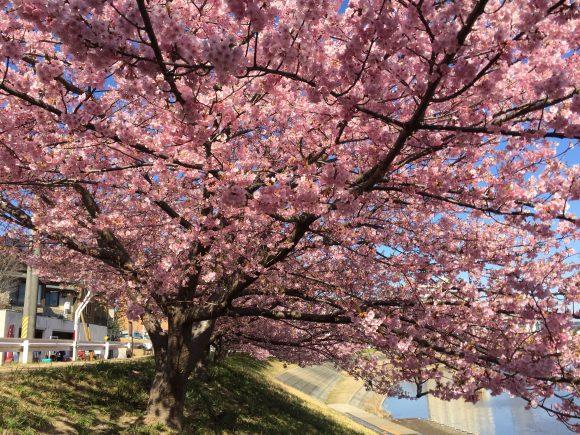 葵桜 濃いピンク色