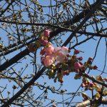 岡崎の葵桜(河津桜)2018