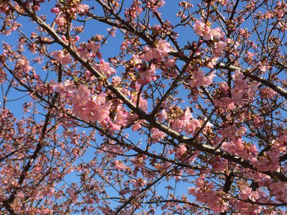 岡崎の葵桜(河津桜)2018.03.11